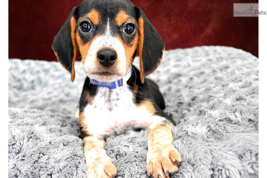 Bagel Beagle Puppy For Sale Near Inland Empire California