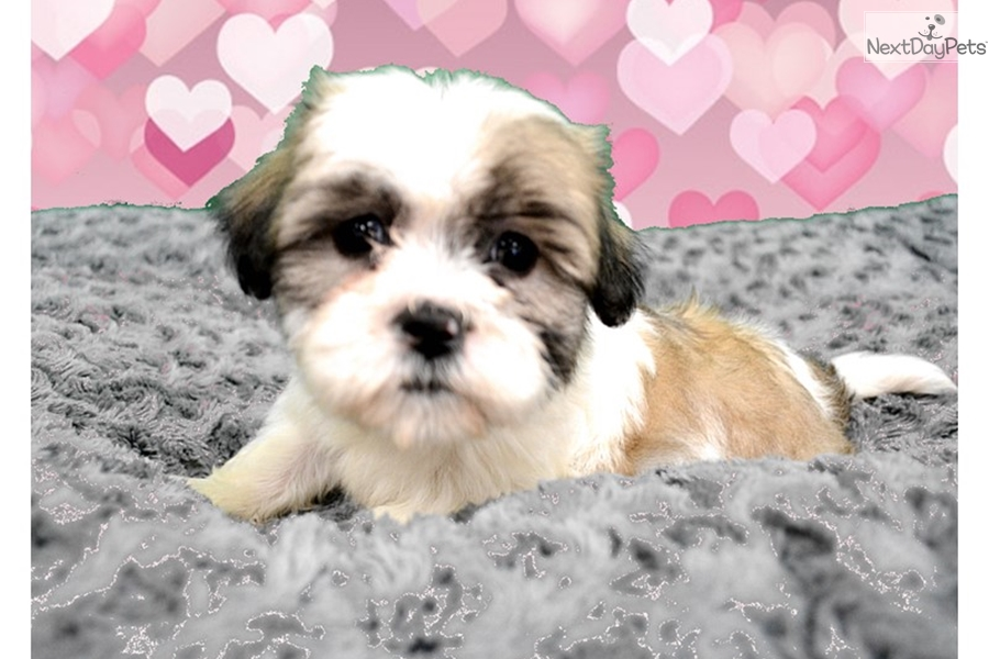 Lilly Shih Poo Shihpoo Puppy For Sale Near Inland Empire