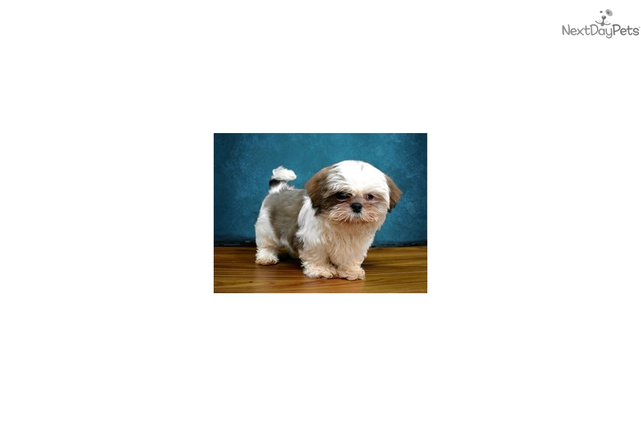 Shiffa Shih Tzu Puppy For Sale Near Inland Empire California