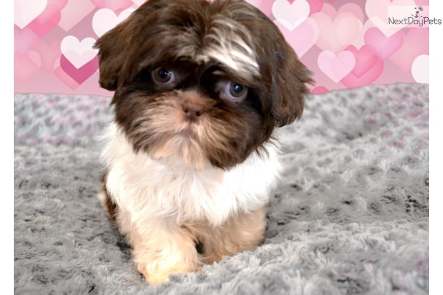 Maci Shih Tzu Puppy For Sale Near Inland Empire California