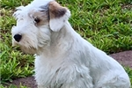 Sealyham Terrier for sale