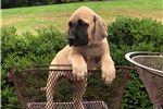 Picture of AKC English Mastiff