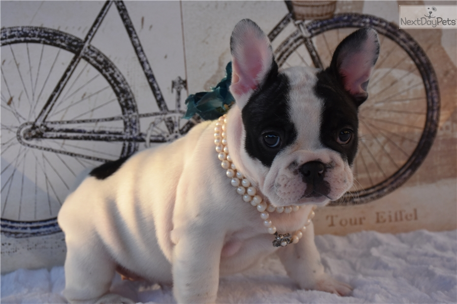 Hera French Bulldog Puppy For Sale Near El Paso Texas 7e753eb2 24f1