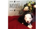 Picture of Moose