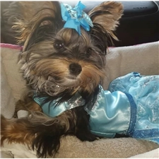 View full profile for Treasures Tiny Yorkies