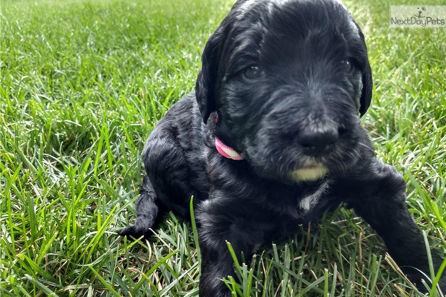 Pink Collar Girl Bernese Mountain Dog Puppy For Sale Near
