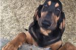 Bloodhound for sale