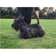 View full profile for Barkleys Scottish Terriers