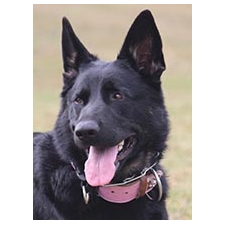 View full profile for Quarrylane German Shepherds