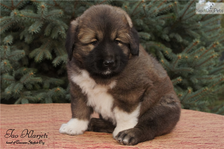 Vakula Caucasian Mountain Dog Puppy For Sale Near Ukraine
