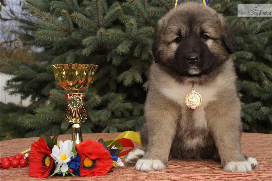 Verona Caucasian Mountain Dog Puppy For Sale Near Ukraine