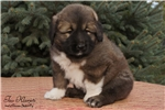 Picture of Vakula puppy of Caucasian Mountain Dog