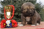 Picture of Vedmezhyk puppy of Caucasian Mountain Dog