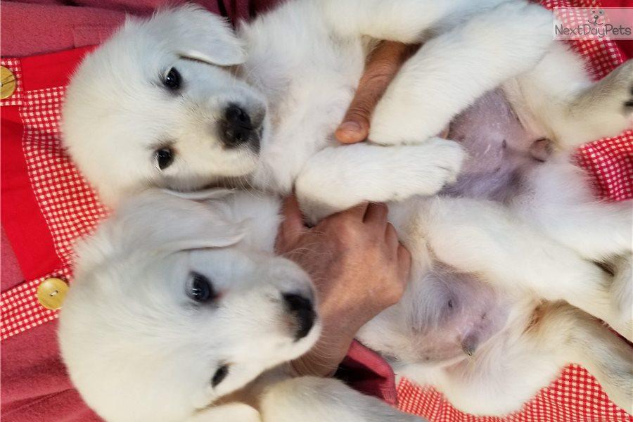 Golden Retriever Puppy For Sale Near Atlanta Georgia 8463379b 2b31