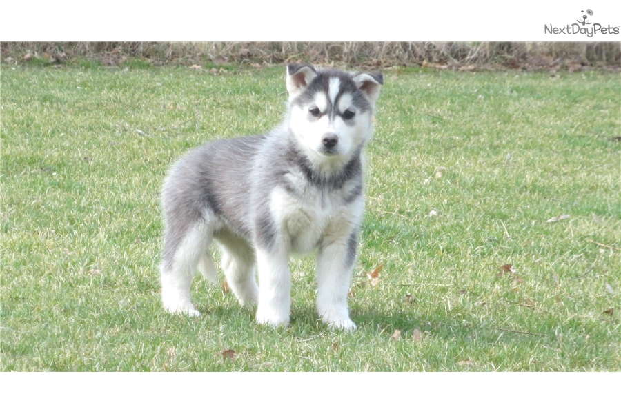Siberian Husky Puppy For Sale Near Rockford Illinois F452bbd8 F901