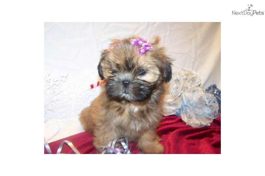 shih tzu puppies for sale in ma shih tzu puppy for sale near south coast massachusetts 4241