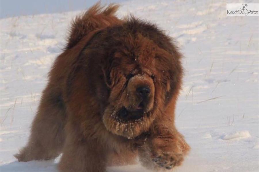 Sagi: Tibetan Mastiff puppy for sale near Beijing, China | 6e343594-cbd1