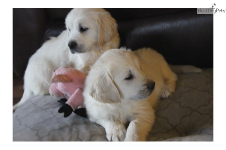 Snow Ball English Golden Retriever Puppy For Sale Near Atlanta