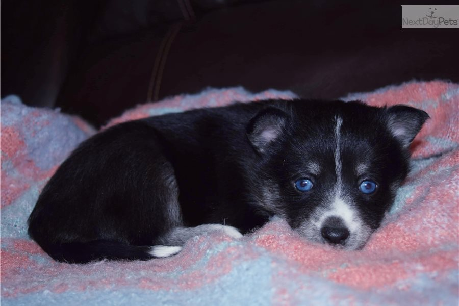 Pomsky puppy for sale near Minnesota USA