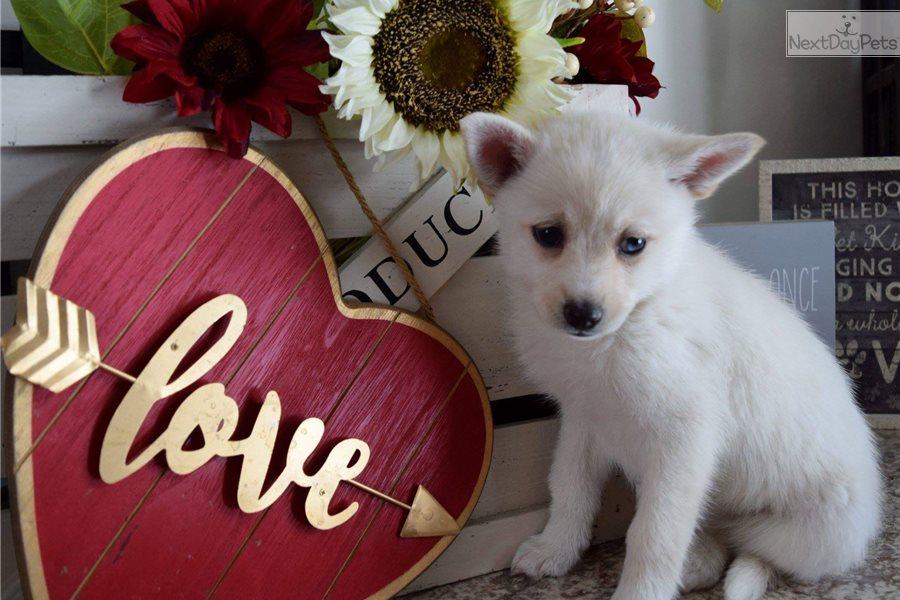 Pomsky Puppy For Sale Near Minneapolis St Paul Minnesota
