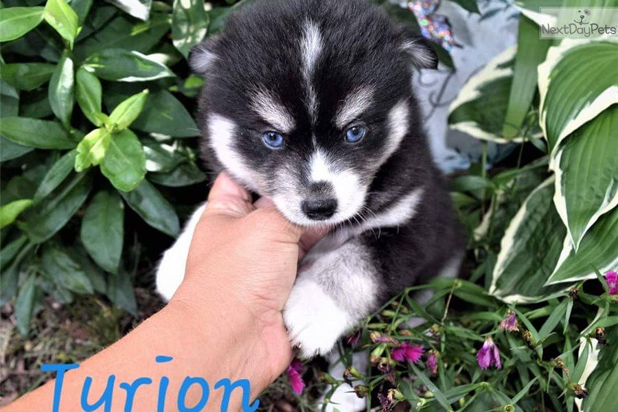 Pomsky puppy for sale near Minneapolis / St Paul, Minnesota