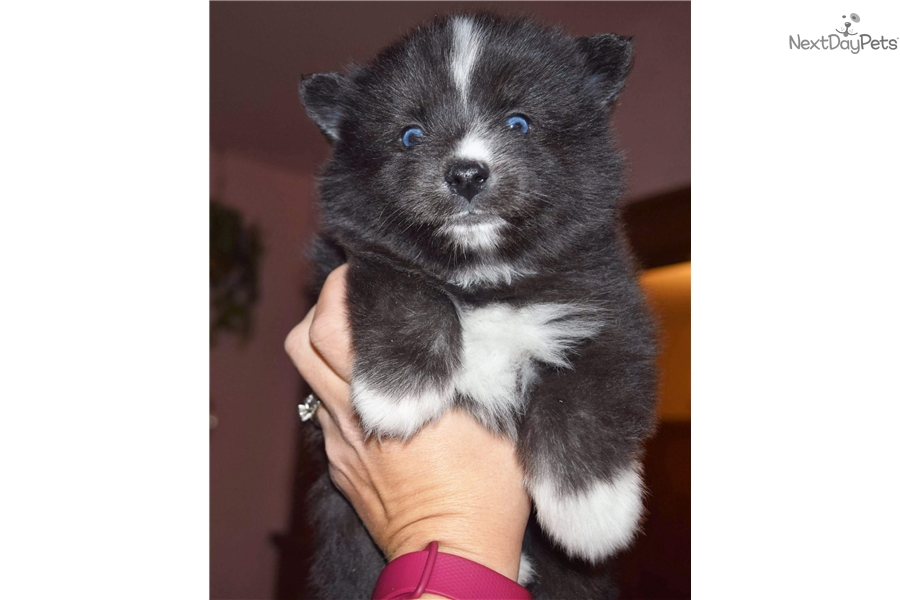 Max: Pomsky puppy for sale near Minneapolis / St Paul
