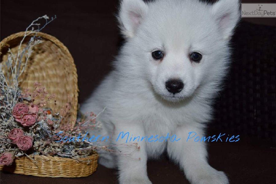 Romeo Pomsky Pomsky Puppy For Sale Near Minneapolis St Paul