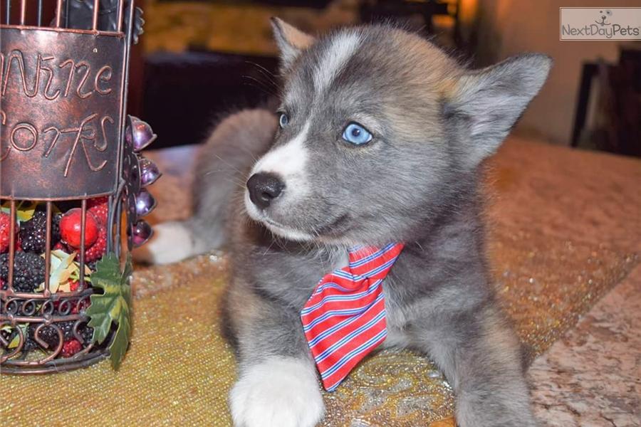 Duke Pomsky Puppy For Sale Near Minneapolis St Paul Minnesota