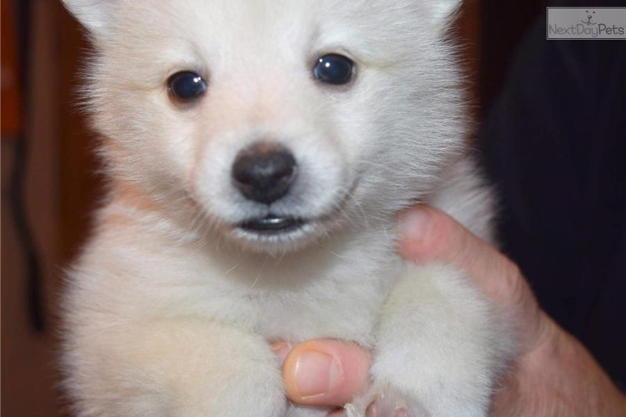 Gidget Pomsky Puppy For Sale Near Minneapolis St Paul Minnesota