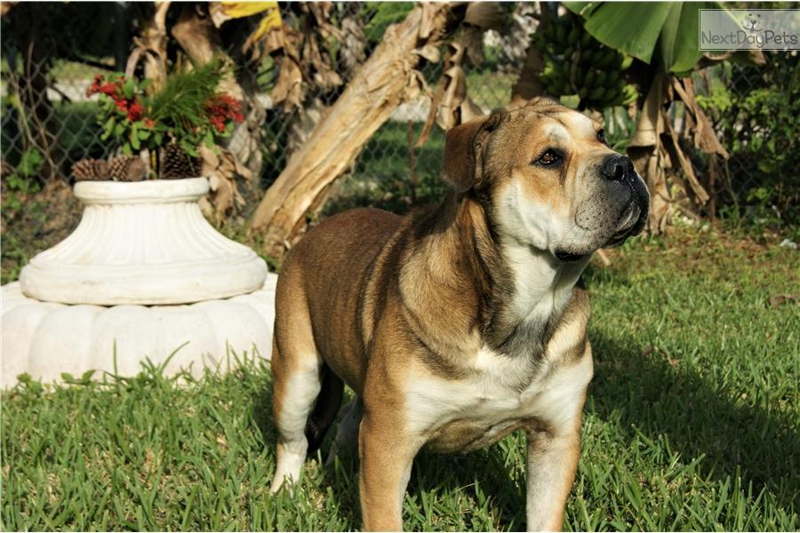 Uno Domenik Still Spanish Mastiff Puppy For Sale Near West Palm