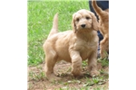 Picture of F1 Apricot Standard Irish Doodle ready now