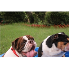 View full profile for Dfw Rare Bulldogs