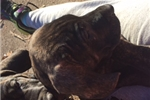 Picture of CBKC registered brindle male