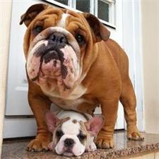 View full profile for Dc Bulldog Family
