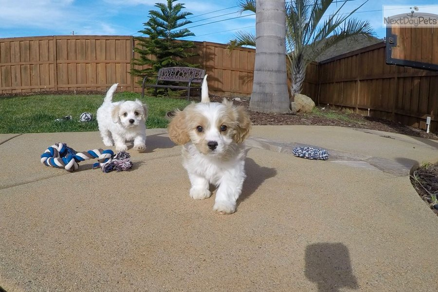 Ryder: Cavachon puppy for sale near San Diego, California