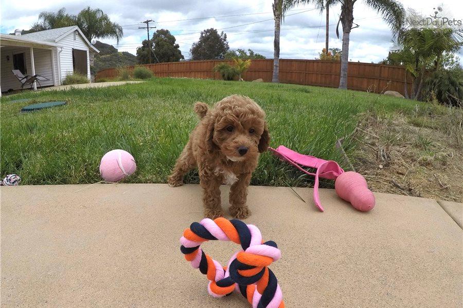 Lulu: Cavapoo puppy for sale near San Diego, California