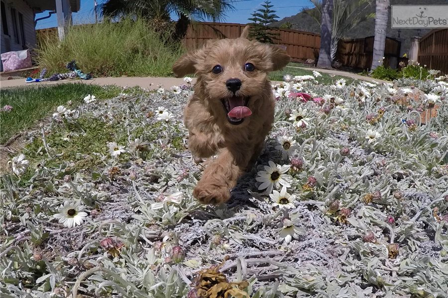 Bali: Cavapoo puppy for sale near San Diego, California