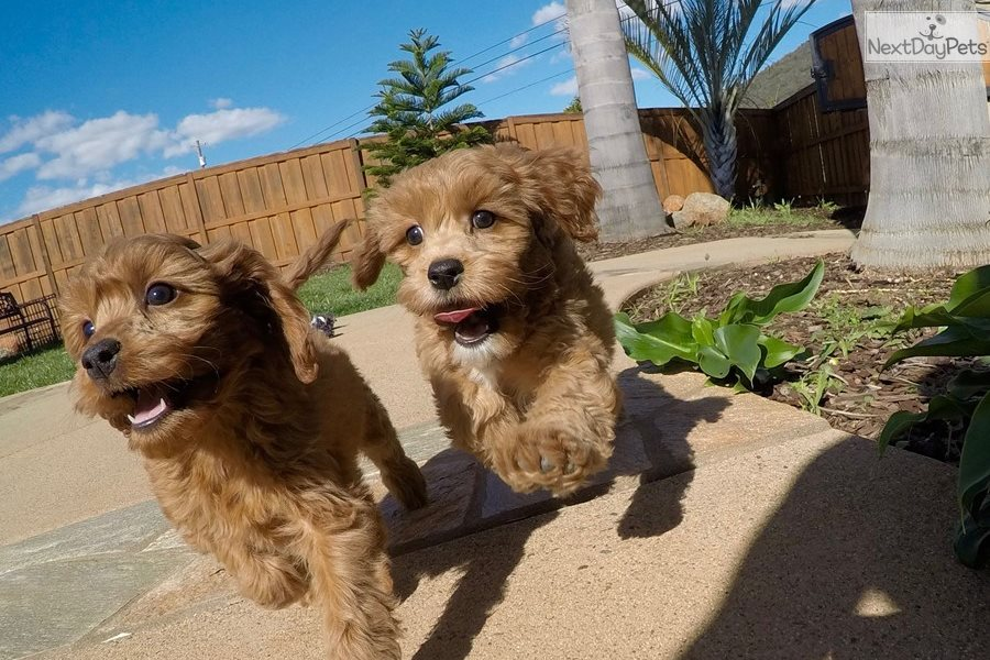 Kingston: Cavapoo puppy for sale near San Diego, California