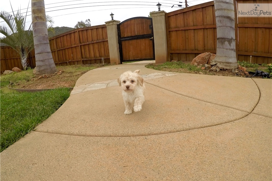 Ozzy Goldendoodle Puppy For Sale Near San Diego