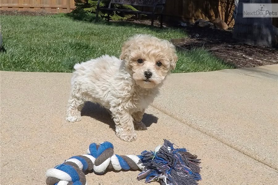Images of maltipoo puppies for sale in palm springs