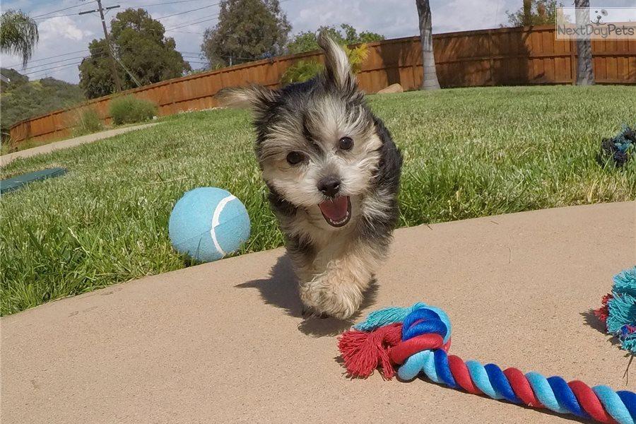 Monty: Morkie / Yorktese puppy for sale near San Diego
