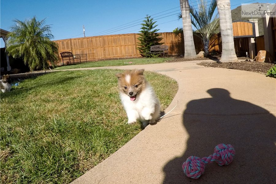 pomeranian puppies for sale in san diego nuala pomeranian puppy for sale near san diego 8605
