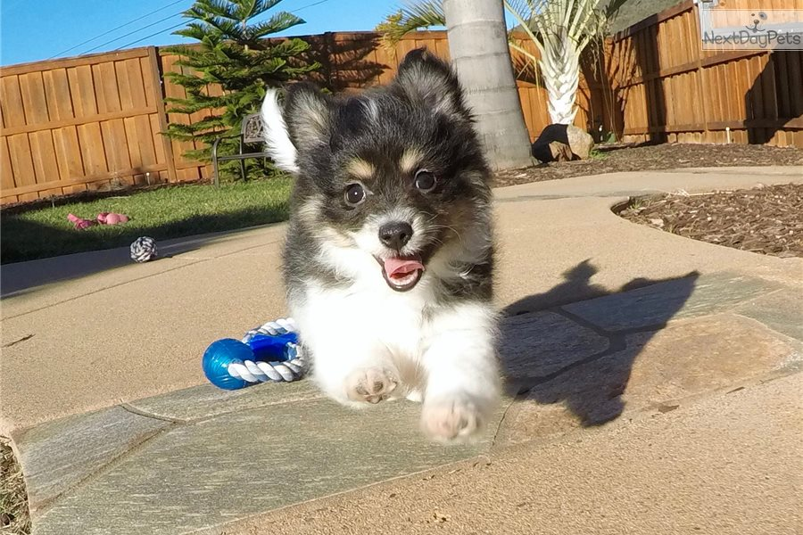 pomeranian puppies for sale in san diego dante pomeranian puppy for sale near san diego 702