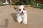 CavaChon puppy for sale - Cavalier x Bichon Frise  | Puppy at 10 weeks of age for sale