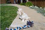Picture of Adorable CavaChon puppy - Cavalier x Bichon Frise