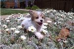 Picture of CavaChon designer puppy for sale in San Diego, CA!
