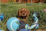 Picture of ACA Cavalier King Charles Spaniel puppy for sale !