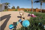 Picture of Mini GoldenDoodle puppy for sale in San Diego, CA!