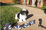 Picture of Male AKC Havanese puppy for sale !!