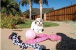 Picture of Teddy Bear puppy for sale - Maltese x Shih Tzu